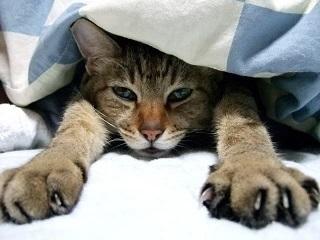 布団の中の猫