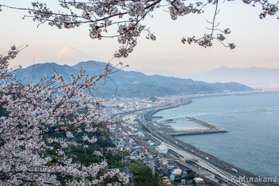 桜えび出漁と桜の花(由比港と富士山)