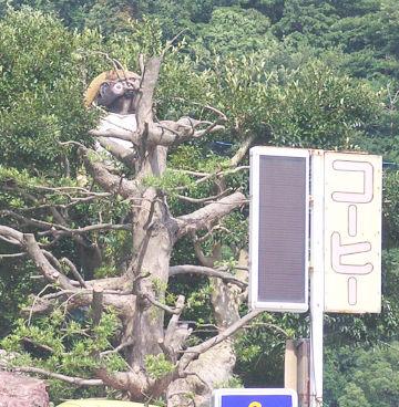 木登りだぬき