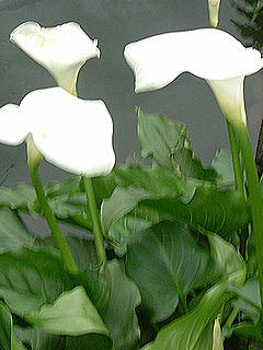カラーの花アップ